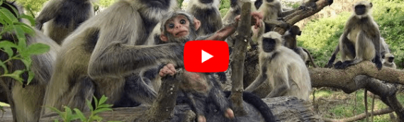India: Wild Monkeys Steal Vile of Coronavirus
