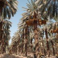Israel Date Trees