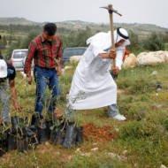 Palestinian trees