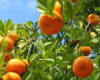 Plant Fruit Trees for Shmita – The Sabbatical Year!